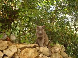 Bibouille, chat Chartreux