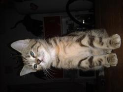 Bibulle, chat Gouttière