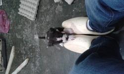 Bicha, chien American Staffordshire Terrier