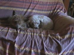 Biche, chien Yorkshire Terrier