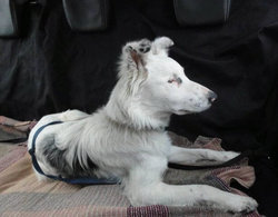 Biche, chien Border Collie