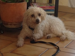 Bichette, chien Bichon à poil frisé