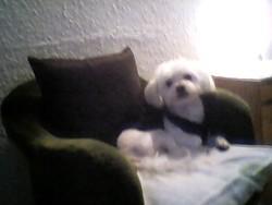 Bichon, chien Bichon maltais