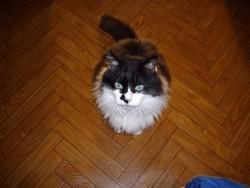 Bichon, chat Européen