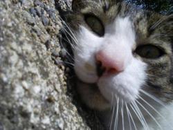 Bidou, chat Européen