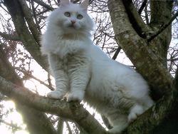 Bidouille, chat Norvégien