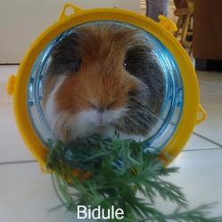 Bidule, rongeur Cochon d'Inde