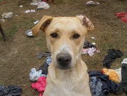 Bidule, chien Labrador Retriever