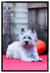 Bidule, chien Cairn Terrier