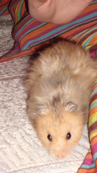 Bidule, rongeur Hamster