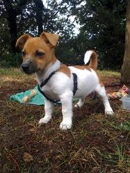 Bidule, chien Jack Russell Terrier