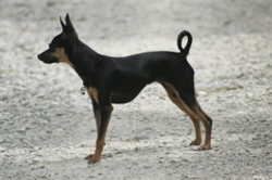 Bidule, chien Russkiy Toy