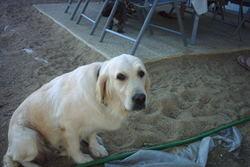 Bific, chien Golden Retriever