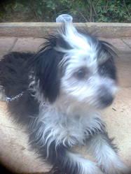 Bigi, chien Caniche