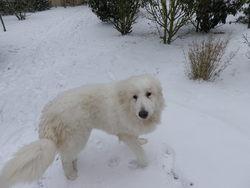 Bigorre2, chien Mâtin des Pyrénées