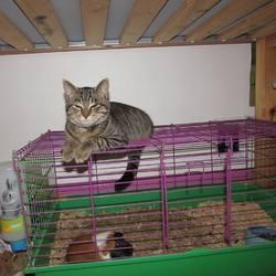 Bigouden, chat Gouttière
