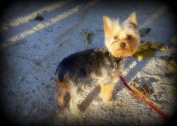 Bigoudie, chien Yorkshire Terrier