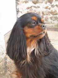 Biguine, chien Cavalier King Charles Spaniel