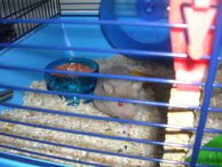Bijaux, rongeur Hamster