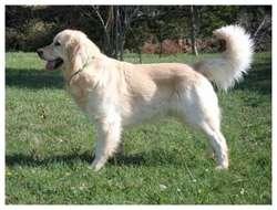 Bijou, chien Golden Retriever