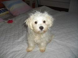 Bijou, chien Bichon maltais