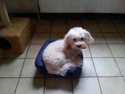 Bijou, chien Bichon à poil frisé
