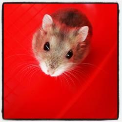 Bijou , rongeur Hamster