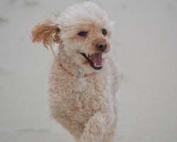 Bijou, chien Caniche
