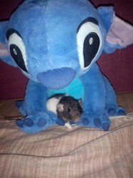 Bijou, rongeur Rat
