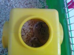 Bijou Et Perle, rongeur Hamster