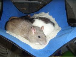Bijoux, rongeur Rat