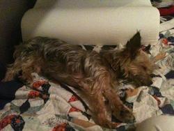Bijoux , chien Yorkshire Terrier