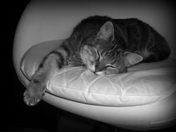 Bijoux, chat Européen