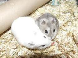 Bijoux, rongeur Hamster