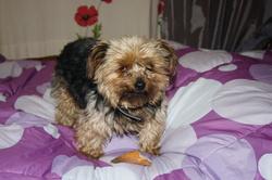 Bijoux, chien Yorkshire Terrier
