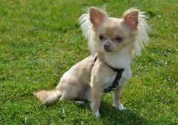 Bijoux, chien Chihuahua