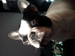 Bilbo, chien Bouledogue français