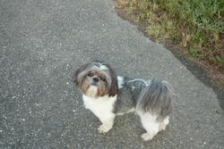 Bilbo, chien Shih Tzu