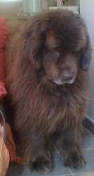 Bilka, chien Terre-Neuve