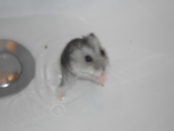 Bill, rongeur Hamster