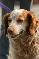 Bill, chien Épagneul breton