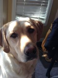 Bill, chien Labrador Retriever