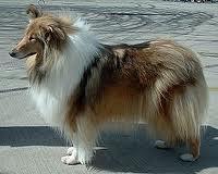 Billo, chien Colley à poil long