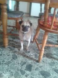 Billy, chien Carlin