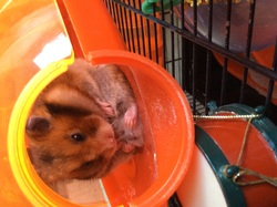 Billy, rongeur Hamster