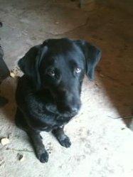 Billy, chien Labrador Retriever