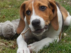 Billy, chien Beagle