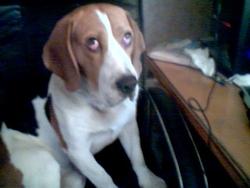 Billy, chien Chien d'Artois