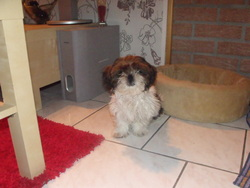 Billy, chien Shih Tzu