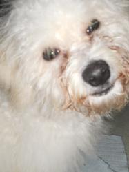 Billy, chien Bichon à poil frisé